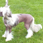 Special Best Minor Puppy - Queshian Norty Naked Angel (Chinese Crested)