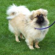 Special Best Puppy - Balgay A Yzi Bdag (Tibetan Spaniel)