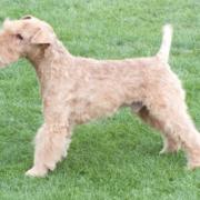 Best Special Veteran - Corrievrackie Garnet SH CM (Lakeland Terrier)