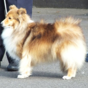 Pastoral Group Winner - Ellenyorn Endless Love (Shetland Sheepdog)