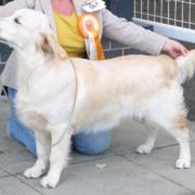 Special Best Minor Puppy - Lochtaymor Conquistador For Glormhorcu (Golden Retriever)